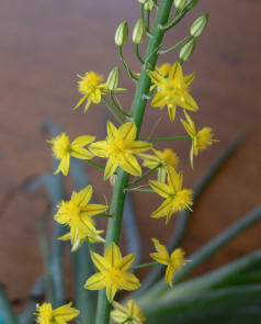 bulbine frutescens flower