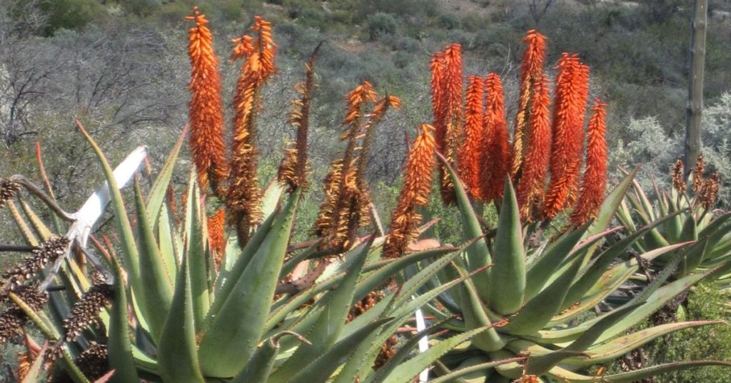 aloe ferox in natural habitat